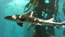 leopard shark in San Diego - La Jolla Underwater Park