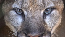 Beautiful Mountain lion Portait at the Zoo