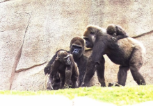 Bananas Gorillas San Diego Zoo 2015