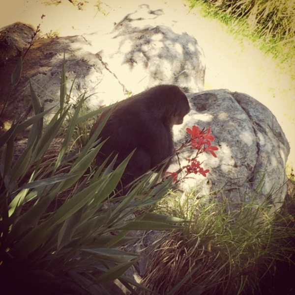 Gorilla finds flowers